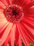 Röd Gerber tusensköna i solen Arkivbild