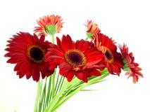 Röd gerbera Royaltyfri Bild