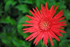 Röd gerbera Royaltyfria Foton