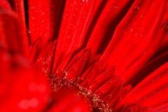 Röd gerbera Arkivfoton