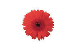 Röd gerbera Royaltyfri Foto