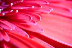 Röd Gerbera Daisy Macro Arkivfoto