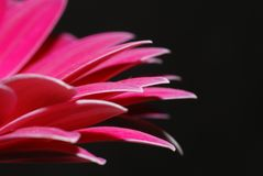 Röd gerbera på black Royaltyfri Foto