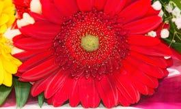 Röd gerberablomma Royaltyfri Foto