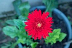 Röd Gerberatusensköna Arkivfoton