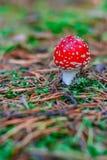 Röd giftig Amanitachampinjon Royaltyfri Bild