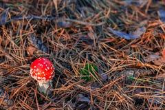 Röd giftig Amanitachampinjon Royaltyfri Foto