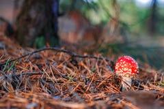 Röd giftig Amanitachampinjon Fotografering för Bildbyråer