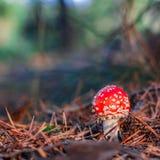 Röd giftig Amanitachampinjon Arkivbilder