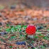 Röd giftig Amanitachampinjon Royaltyfri Fotografi