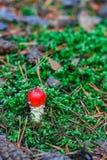 Röd giftig Amanitachampinjon Arkivfoton