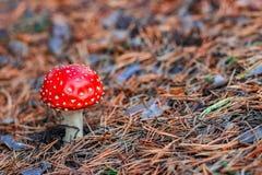 Röd giftig Amanitachampinjon Royaltyfria Foton