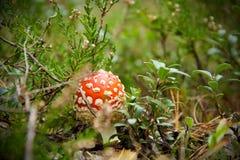 Röd giftig champinjon bland ljungen i höstskog Fotografering för Bildbyråer