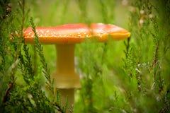 Röd giftig champinjon bland ljungen i höstskog Arkivbilder