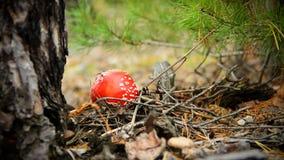 Röd giftig champinjon i höstskog Arkivbild