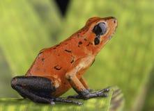 Röd giftpilgroda Costa Rica Arkivfoto