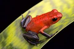 Röd giftpilgroda Costa Rica Arkivfoton