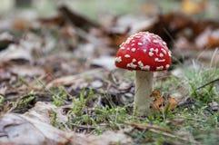 Röd giftsvamp i en skog Arkivfoton