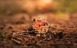 Röd giftsvamp på skoggolv Arkivfoton