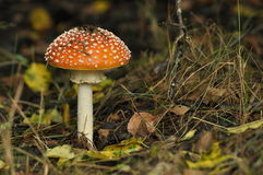 Röd giftsvampchampinjon i skogen medan Royaltyfri Bild