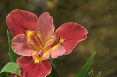 Röd gladiolusblomma för blomning Arkivbilder