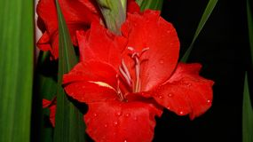 Röd gladiolusblomma på nattslutet upp royaltyfri foto