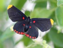 Röd-gränsade Pixie Butterfly royaltyfri foto