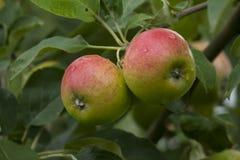 Röd-gräsplan äpplen som hänger på ett träd Royaltyfria Foton