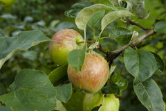Röd-gräsplan äpplen som hänger på ett träd Royaltyfri Bild