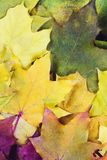 Röd grön orange guling Autumn Leaves Background Royaltyfri Fotografi