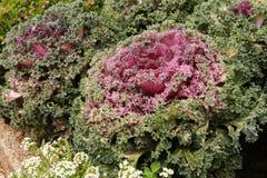 Röd grönsallat Fotografering för Bildbyråer