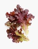 Röd grönsallat Arkivbild