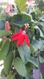 Röd granadillablomma Royaltyfri Fotografi