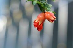 Röd granatäppleblomma Royaltyfri Foto