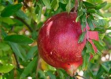 Röd granatäpplefrukt på träd arkivbilder
