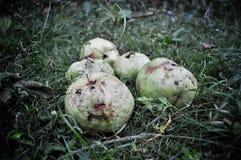 Röd guava som isoleras på grönt gräs arkivbilder