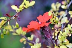 Röd gul blomma, makrofors royaltyfri foto