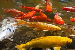 Röd gul guld och bekanta vita Koi också, som nishikigoien tämjde den gemensamma karpen för trädgårds- damm för dekorativa avsikte Fotografering för Bildbyråer