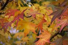 Röd, gul, guld- och grön sidaLiquidambarstyraciflua för höst, bärnstensfärgat träd  royaltyfri bild