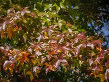 Röd, gul, guld- och grön sidaLiquidambarstyraciflua för höst, bärnstensfärgat träd En närbild av bladet i fokus mot arkivfoton
