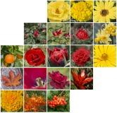Röd, gul och orange blom- collage av blommor Royaltyfri Bild