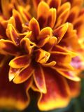 Röd, gul orange blomma Royaltyfria Foton