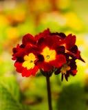 Röd & gul primula i solen royaltyfri bild