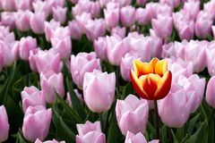 Röd gul tulpan och rosa tulpan Arkivbild