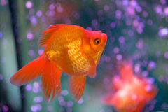 Röd guldfisk Royaltyfria Foton