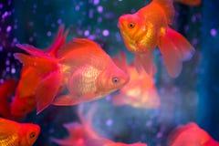 Röd guldfisk Royaltyfri Bild