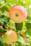 Röd-guling äpple på ett filialslut upp Royaltyfri Bild