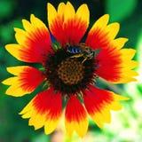 Röd-guling blomma - Gaillardiaaristata royaltyfri bild