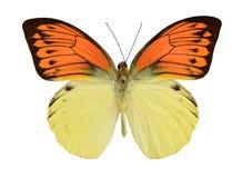 Röd guling för fjäril Arkivfoton