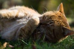 Röd-guling katt i gräs arkivfoto